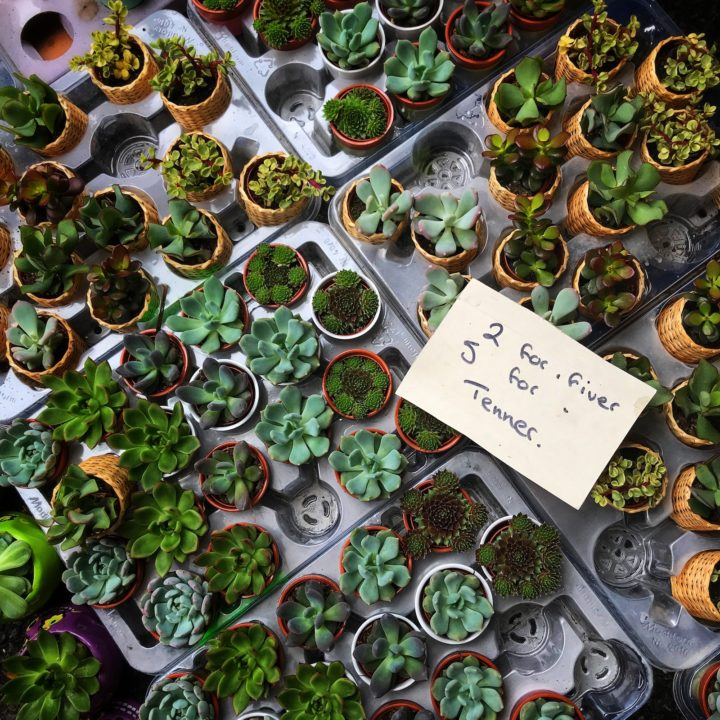Trays full of succulent and cactus plants